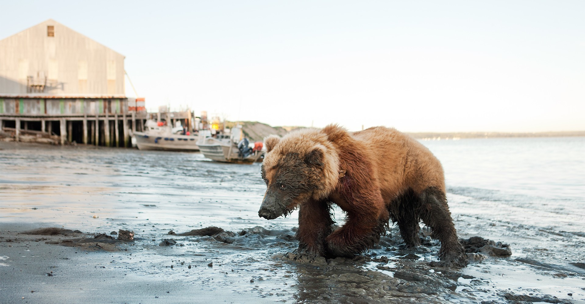 Wounded Bear at Red Salmon Cannery - Bristol Bay, Alaska
