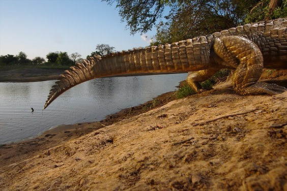 A camera trap was set to capture this crocodile coming and going from its riverside den.