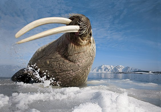 A male walrus flicks his tusks on the ice, sending a warning to the halfsubmerged photographer. The giant tusks of adult walruses can grow up to 90 centimeters long. Females prefer to congregate in Russian waters to the east, so the walrus population in Norway's Svalbard Archipelago is primarily male much of the year.