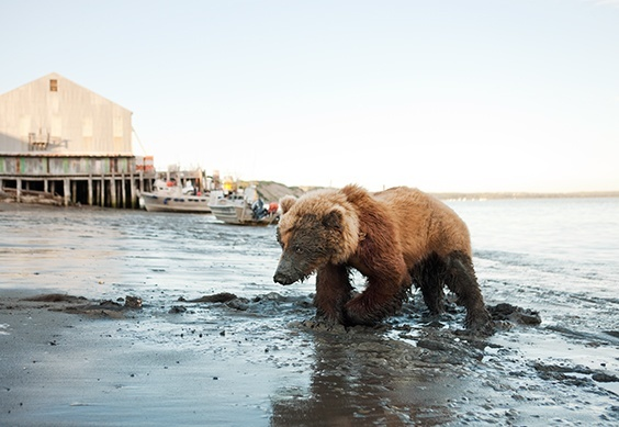 Wounded Bear at Red Salmon Cannery, Bristol Bay, Alaska, 2011.
